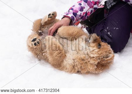 Fluffy Little Affectionate Dog In The Snow, Breed Chow Chow
