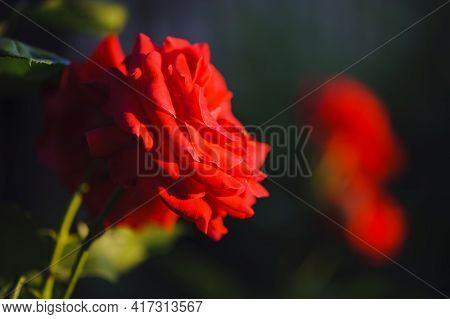 Bright Beautiful Red Rose Flower. Big Red Rose Close Up. Deep Red Color. Big Beautiful Flower. Delic