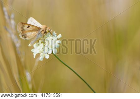 Delicate Orange Butterfly On A White Wildflower. Beautiful Butterfly In The Meadow. Insect, Butterfl