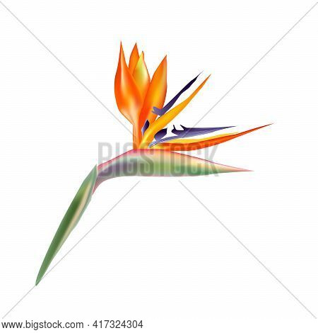 Strelitzia Reginae Flowers. Strelitzia , Bird Of Paradise, Flower Isolated On White Background. Fres