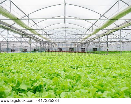 Hydroponic Of Lettuce Farm Growing In Greenhouse For Export To The Market. Interior Of The Farm Hydr