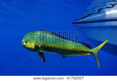 Mahi Mahi Or Dolphin Fish