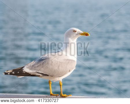 Close Up With A Seagull. Portrait Of A Seagull Bird With Blue Sea Water In The Background