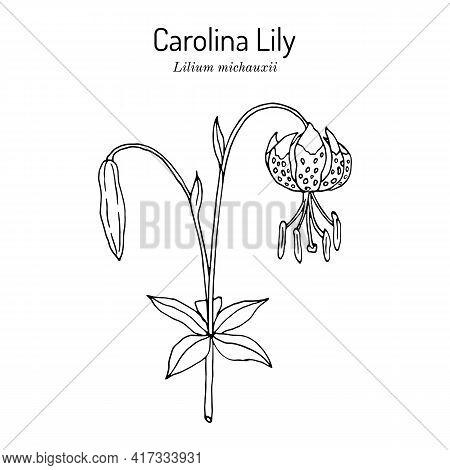 Carolina Lily Lilium Michauxii , State Flower Of South Carolina. Hand Drawn Botanical Vector Illustr