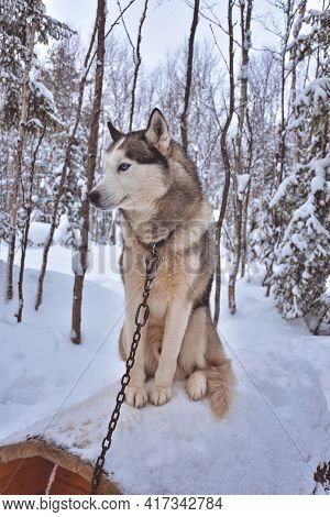 Husky Sits On A Booth With A Chain In A Snowy Forest