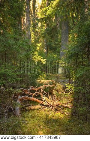 Deep Spring Forest With Warm Sunlight. Thickets With Rich Vegetation. Deep Evergreen Thicket Forest
