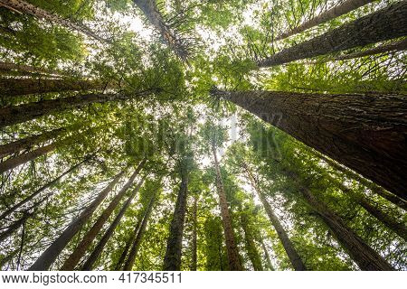 Looking Up At Tall Redwood Trees In The Otways, Victoria, Australia