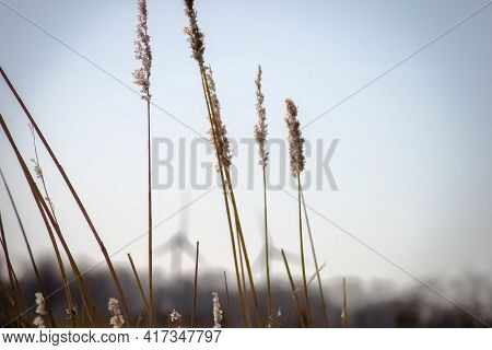 Reeds In The Wind With The Wind Energy Turbines In The Background