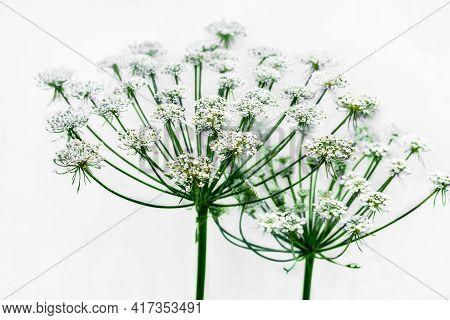 Umbrella-like Hemlock Or Conium Maculatum Flower, Isolated On Light Background. Inflorescence Of A T