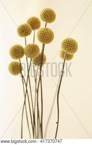 Craspedia Globosa.dried Flowers.natural Dried Craspedia.wedding Decoration.yellow Round Dry Flowers