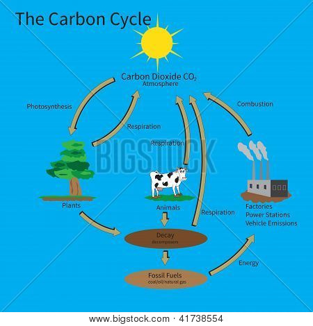The Carbon Cycle showing how carbon is recycled in the environment. poster