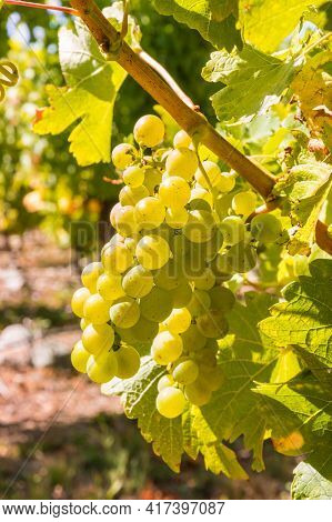 Bunches Of Backlit White Riesling Grapes Hanging On Vine In Vineyard At Harvest Time