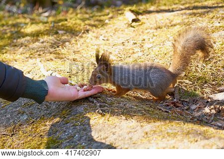 Squirrel Eating Nuts From The Hand In The Woods In The Spring.