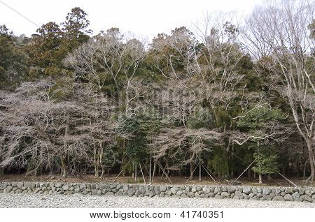 Japanese Deciduous Forest In Winter