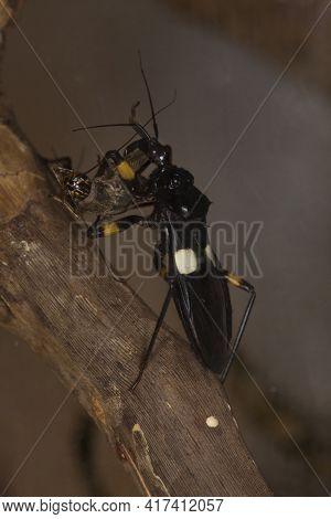 Two-spotted Assassin Bug (platymeris Biguttatus) In Terrarium.