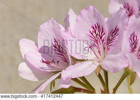 Macro View Of The Pistil Of Pelargonium Graveolens Flowers With Sunlight Outdoors