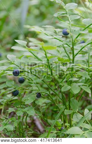 In The Forest, Blueberries Grow On Small Bushes. Blueberry In The Forest. Blueberry Berries On A Bus