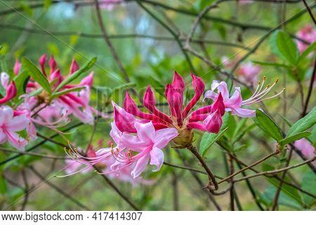 Close Up Of Beautiful Wild Azalea Blooms. Raleigh, North Carolina.