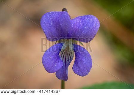 Closeup Of The Bloom Of A Common Blue Violet (viola Sororia). Raleigh, North Carolina.