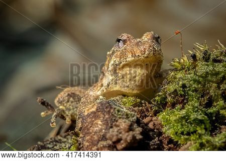 Front View Of A Northern Cricket Frog (acris Crepitans). Raleigh, North Carolina.