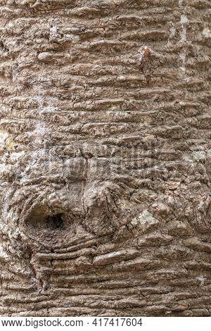 Bark Of Evergreen Tree Araucaria Araucana,commonly Called The Monkey Puzzle Tree, Monkey Tail Tree,