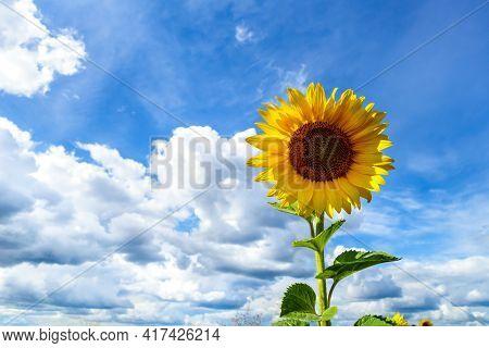 Bright Yellow Flower Of Sunflower Instead Of Sun On Scenic Sky Background