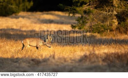 Captivating Photo Of Roe Deer Buck Walking In The Morning Light