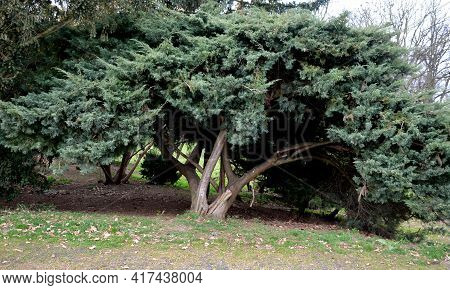 Blue-gray Color. The Twigs Grow Irregularly, Are Often Wavy, And Look A Bit Like Arizona Cypresses.