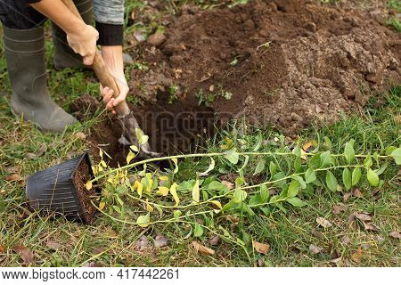 Seedlings Of Garden Blueberries In A Pot Before Planting In The Ground. Gardener Prepares A Pit