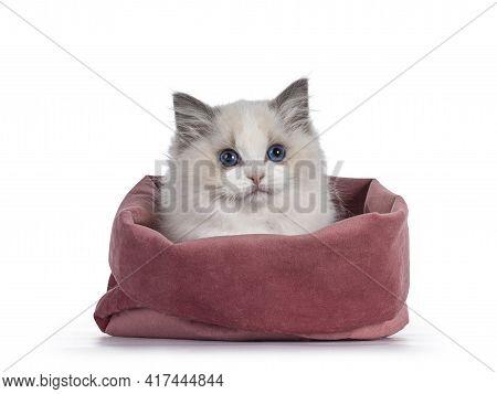 Cute Blue Bicolor Ragdoll Cat Kitte, Sitting In Pink Velvet Bag. Looking Towards Camera With Blue Ey