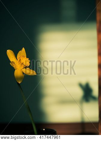 Beautiful yellow daffodil flower in vase with harsh shadow on blurred background in minimal style. S