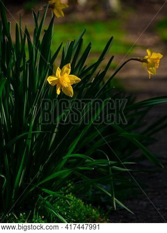 Beautiful yellow daffodil flowers with green leaves growing on flowerbed on blurred nature backgroun