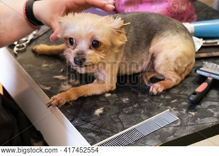 Small Yorkshire Terrier Dog Is Very Much Afraid Of Haircuts On The Groomer's Table. Care For Purebre