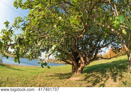 Large Sprawling Tree On The Lake In An Autumn Day