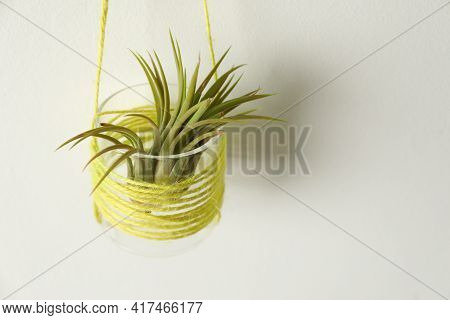 Beautiful Tillandsia Plant On White Wall, Space For Text. Home Decor