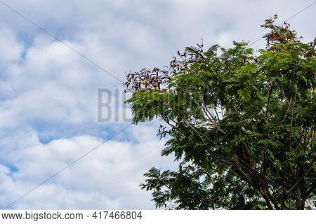 Green Tree And Cumulus White Clouds On Blue Sky Background