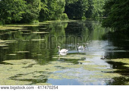 A Couple, Two Beautiful White Swans Float On A Green Picturesque Pond Or Lake.