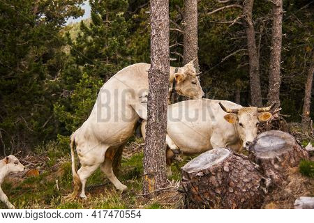 Cows In The Forest In La Cerdanya, Pyrenees, Spain