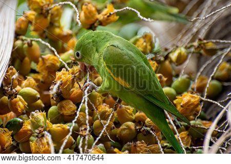 Maritaca Bird From Brazil, Beautiful Bird In Brazil Feeding On Coconut, Selective Focus.
