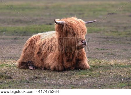 Scottish Highland Cow Sideward View Laying Down A Hardy Breed  With A Long Shaggy Coat Selective Foc