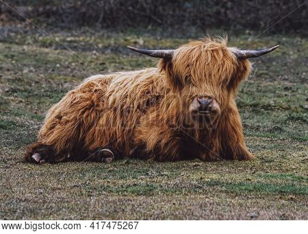 One  Scottish Highland Cow Looking Into The Camera Laying Down A Hardy Breed  Shaggy Coat  Filter Ad