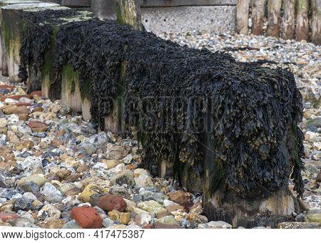 Gutweed (ulva Intestinalis) Seaweed  Over A Coastal Wooden Groynes On A Pebble Beach ,  Copy Space T