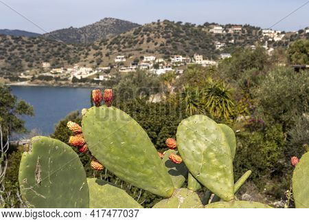 Cactus Fruits (opuntia) Grow And Ripen In A Sunny, Spring Day Close-up