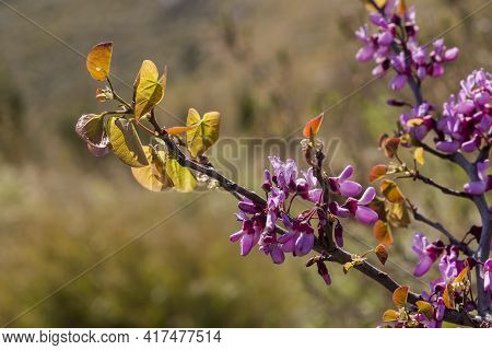 A Tree Branches (cercis Siliquastrum) With Pink Flowers Blooming Against A Mountains In A Spring, Su