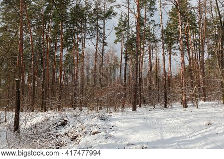 Section Of The Sunlit Winter Forest With Pines And Deciduous Trees And Shrubs Against A Cloudy Sky