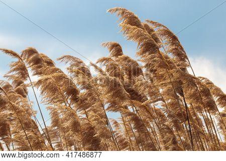 Golden Yellow Pampas Grass Closeup, Neutral Texture. Nature Beige Reed, Cortaderia Plant. Dry Selloa