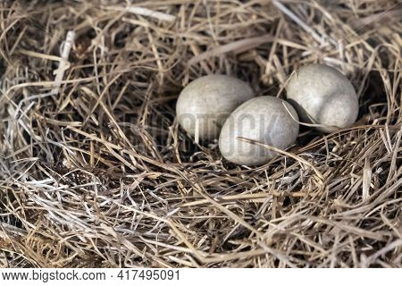 Luscinia Svecica Egg. The Nest Of The Bluethroat In Nature., Easter Egg