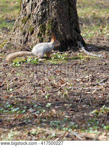 Squirrel (sciurus Vulgarisу Tree Trunk In The Park In Early Spring On A Flowerbed In The Park In Ear