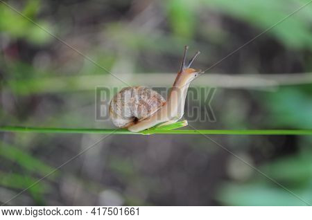 Snail Helix Pomatia Crawls By Plant Stem With Green Blurred Background. Escargot Snail With Brown Sh