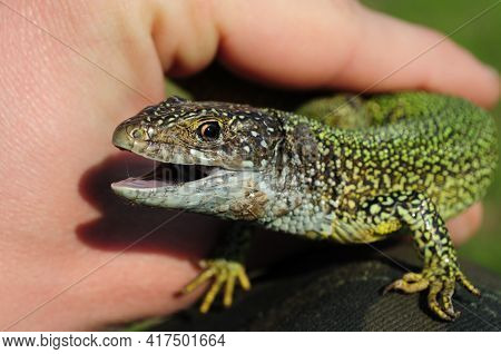 European Green Lizard Lacerta Viridis In Human Hands. Head Of Lizard With Open Mouth And Brown Eye L